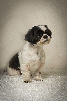 Shih Tzu Dog for adoption in Davie, Florida - Lucy Rose