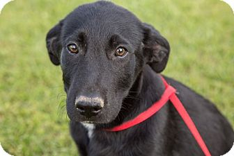 German Shepherd Dog/Labrador Retriever Mix Puppy for adoption in Coventry, Rhode Island - Jazzy