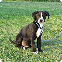 Adopt A Pet :: DUTCH - Hartford, CT