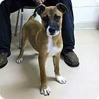 Adopt A Pet :: Chevy - Harrisonburg, VA