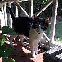 Abyssinian Cat for adoption in Marietta, Georgia - Bob the cat