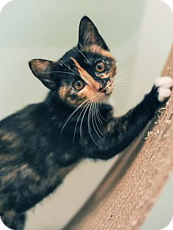 Calico Kitten for adoption in Mt. Prospect, Illinois - Marigold