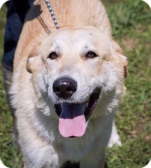 Husky/Great Pyrenees Mix Puppy for adoption in Boonsboro, Maryland - Hudson