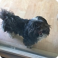 Shih Tzu Dog for adoption in Waldorf, Maryland - Bubba