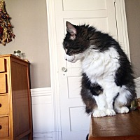 "Norwegian Forest Cat Cat for adoption in San Francisco, California - Tick (nickname: ""Creeper"")"