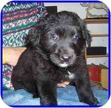 Labrador Retriever/Collie Mix Puppy for adoption in Hamilton, Ontario - Deedee