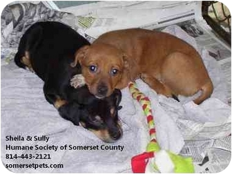 Terrier (Unknown Type, Medium) Mix Puppy for adoption in Somerset, Pennsylvania - Sully