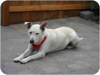 Labrador Retriever/Husky Mix Dog for adoption in Salem, Oregon - Ukiah