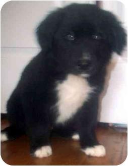Golden Retriever/Labrador Retriever Mix Puppy for adoption in Chapel Hill, North Carolina - Ariel