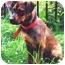 Photo 1 - Bloodhound/German Shepherd Dog Mix Puppy for adoption in Baldwin, New York - Fraazer