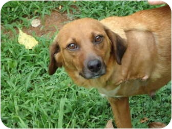 Beagle/Golden Retriever Mix Dog for adoption in Spring Valley, New York - Corona  (amputee)