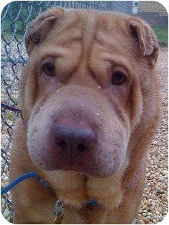 Shar Pei Dog for adoption in Barnegat Light, New Jersey - Broddy Bell