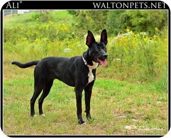 Pharaoh Hound/German Shepherd Dog Mix Dog for adoption in Monroe, Georgia - Ali