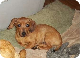 Dachshund/Chihuahua Mix Puppy for adoption in Adamsville, Tennessee - Tanner