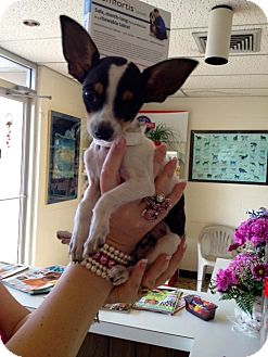 Chihuahua Mix Puppy for adoption in Corpus Christi, Texas - Fievel