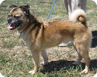 Pug Mix Dog for adoption in LaGrange, Kentucky - WINSTON