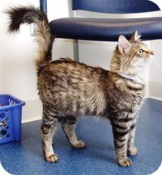 Maine Coon Cat for adoption in Arlington, Virginia - Felicity