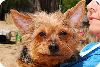 Yorkie, Yorkshire Terrier Mix Dog for adoption in Philadelphia, Pennsylvania - Willie