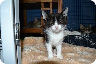 Domestic Shorthair Kitten for adoption in Edwardsville, Illinois - Ginger