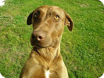 Labrador Retriever Mix Dog for adoption in Richmond, Virginia - Karma