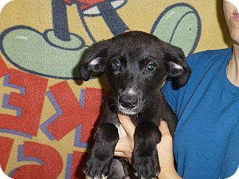 Labrador Retriever/Labrador Retriever Mix Puppy for adoption in Oviedo, Florida - Doug