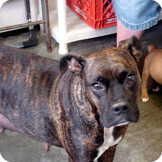 Boxer Mix Dog for adoption in Greencastle, North Carolina - Gracie