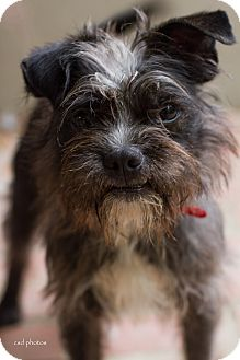 Affenpinscher/Terrier (Unknown Type, Small) Mix Dog for adoption in Baton Rouge, Louisiana - McDuff
