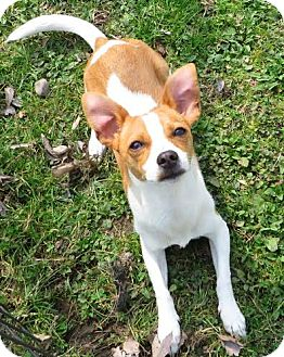 Chihuahua Mix Dog for adoption in Middletown, New York - Bingo