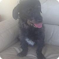 Adopt A Pet :: Percy - Oceanside, CA