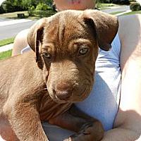 Adopt A Pet :: Cody - South Jersey, NJ