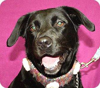 Labrador Retriever Dog for adoption in Jackson, Michigan - Molly
