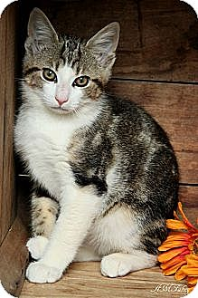 Domestic Shorthair Kitten for adoption in Germantown, Maryland - Baloo
