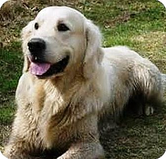 Golden Retriever Puppy for adoption in Oswego, Illinois - I'M ADOPTED Maximus Farrell