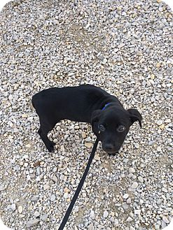 Border Collie/Labrador Retriever Mix Puppy for adoption in Loogootee, Indiana - Minnie