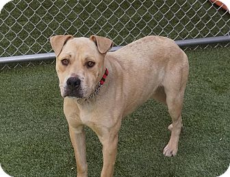 Pit Bull Terrier Mix Dog for adoption in Farmington, New Mexico - Cooper