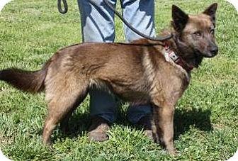 Shepherd (Unknown Type)/Belgian Shepherd Mix Dog for adoption in Lincolnton, North Carolina - Pebbles