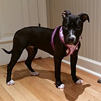 American Staffordshire Terrier Mix Puppy for adoption in nashville, Tennessee - Briley