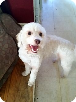 Poodle (Miniature) Dog for adoption in Winnetka, California - AMBER