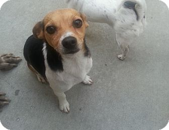 Jack Russell Terrier/Terrier (Unknown Type, Small) Mix Dog for adoption in Chicago, Illinois - Turbo*ADOPTED!*