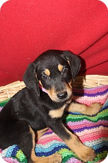 Coonhound Mix Puppy for adoption in Waldorf, Maryland - Ophelia