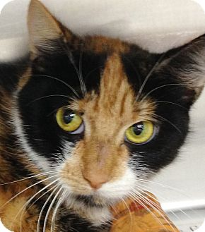 Calico Cat for adoption in Clayville, Rhode Island - Layla