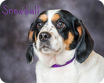 Cocker Spaniel/Beagle Mix Dog for adoption in Somerset, Pennsylvania - Snowball