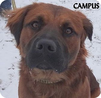 Irish Setter/Rottweiler Mix Dog for adoption in Lapeer, Michigan - CAMPUS--BEAUTIFUL DOG!