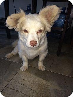 Papillon/Sheltie, Shetland Sheepdog Mix Dog for adoption in West Simsbury, Connecticut - Oustanding Oso