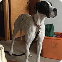Adopt A Pet :: Marley - Springfield, IL