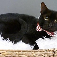 Domestic Shorthair Cat for adoption in League City, Texas - Moon Pie