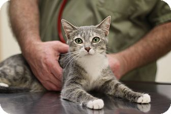 Domestic Shorthair Cat for adoption in New Prague, Minnesota - Rhapsody