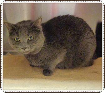 Domestic Shorthair Cat for adoption in Marietta, Georgia - HAZEL