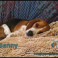 Beagle Dog for adoption in Yardley, Pennsylvania - Benny