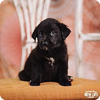 Adopt A Pet :: Alton Brown - Portland, OR